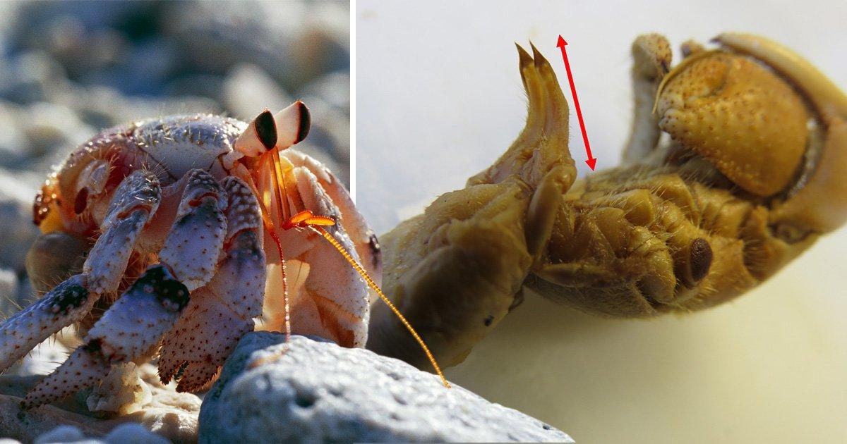 Crab Vs Human Penis Bitten Off